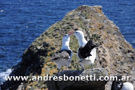 Albatros de Caja Negra - Islas Malvinas - Black-browed Albatross - Falkland Islands - Andrés Bonetti