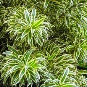 Jual pohon song of india | suplier tanaman | aneka tanaman hias | jasa desain taman