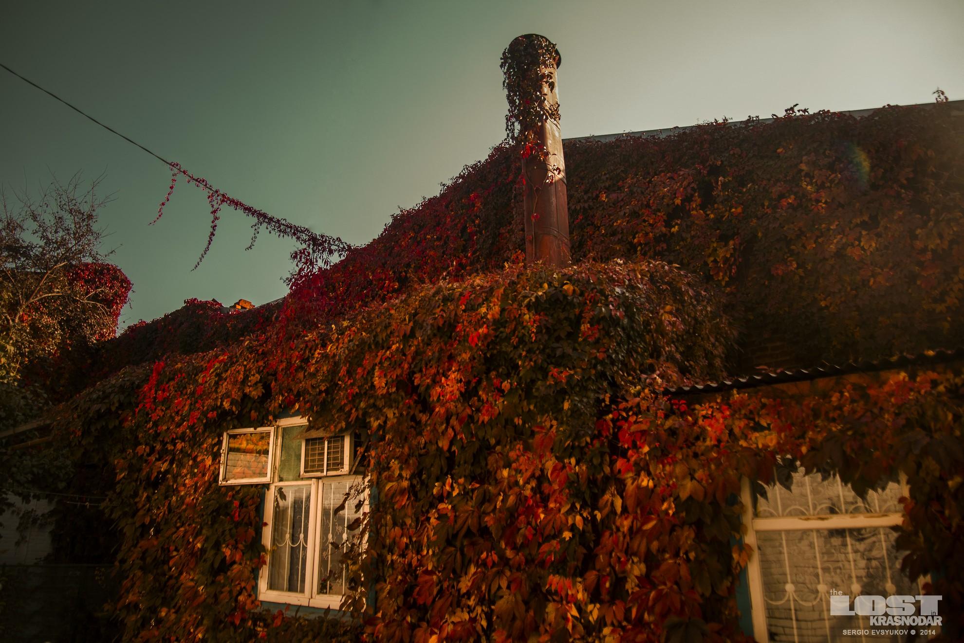 Обвитая пахизандрой стена жилого дома в Краснодаре осенью