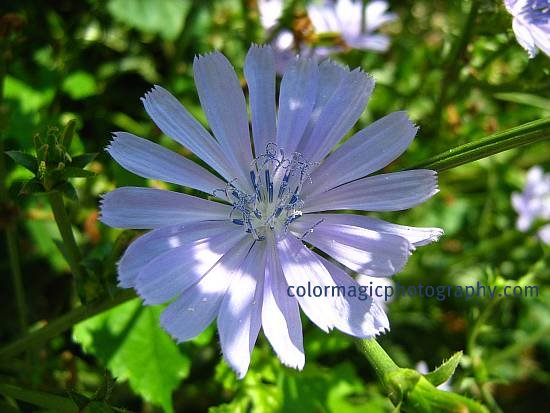 Chicory flower-blue sailors photo