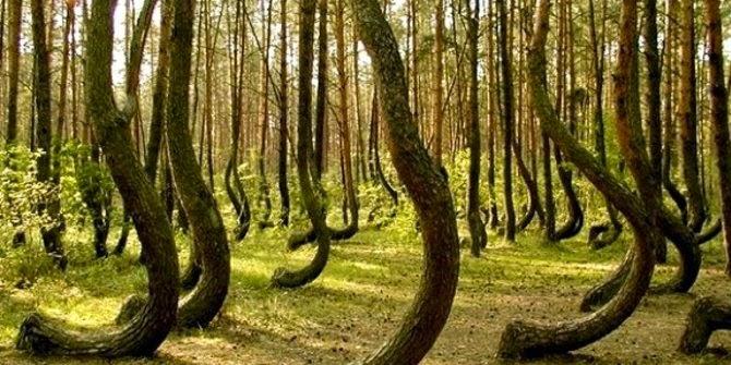 pohon meliuk