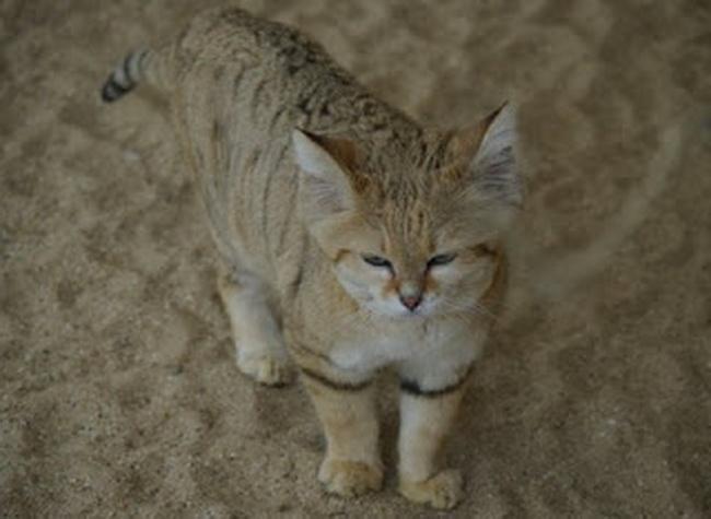 Top 10 News 10 Jenis Kucing Liar Langka Di Dunia