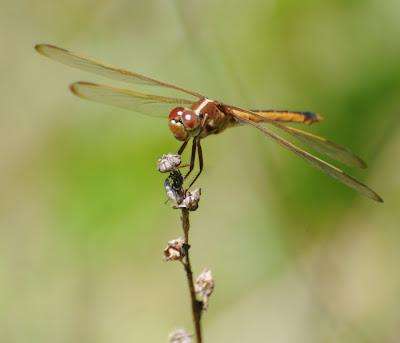 Needham's Skimmer (Libellula needhami)