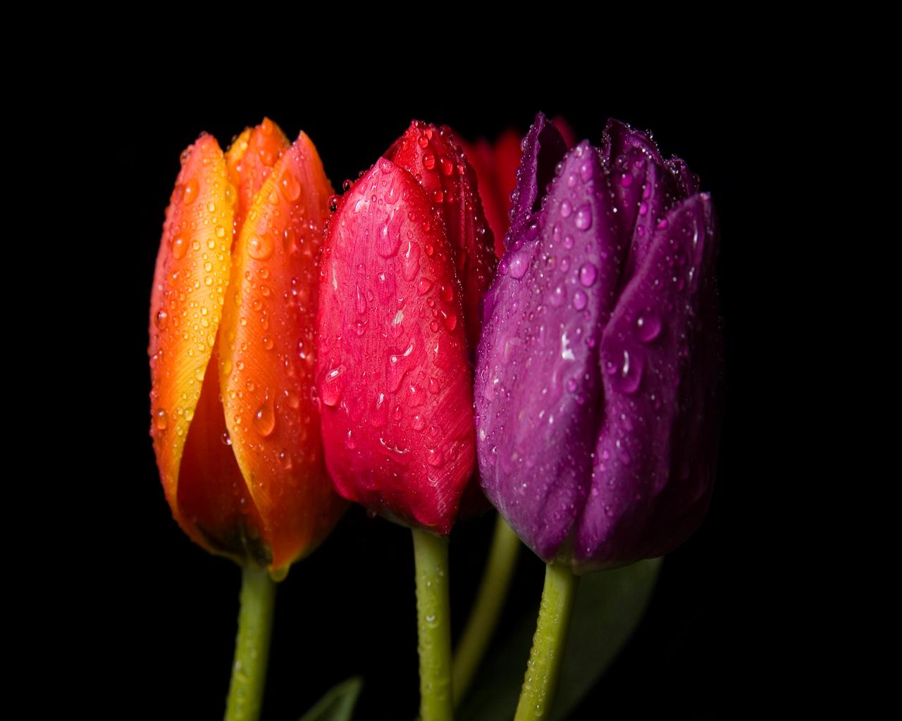 Tulips Desktop Background  Hd Wallpaper