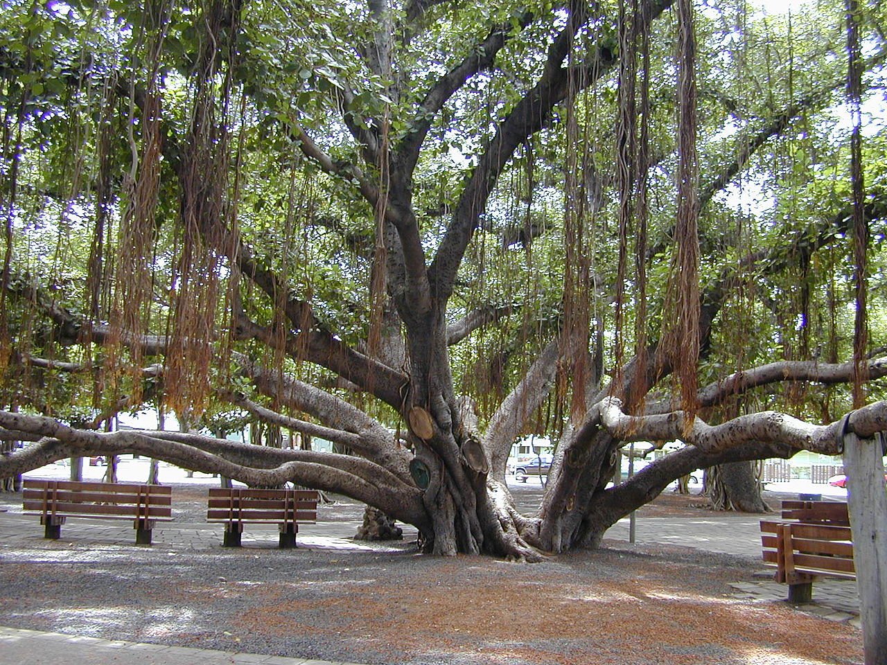 the banyan tree A large banyan tree lives in cypress gardens, at the legoland theme park located in winter haven, florida it was planted in 1939 in a 5-gallon bucket.