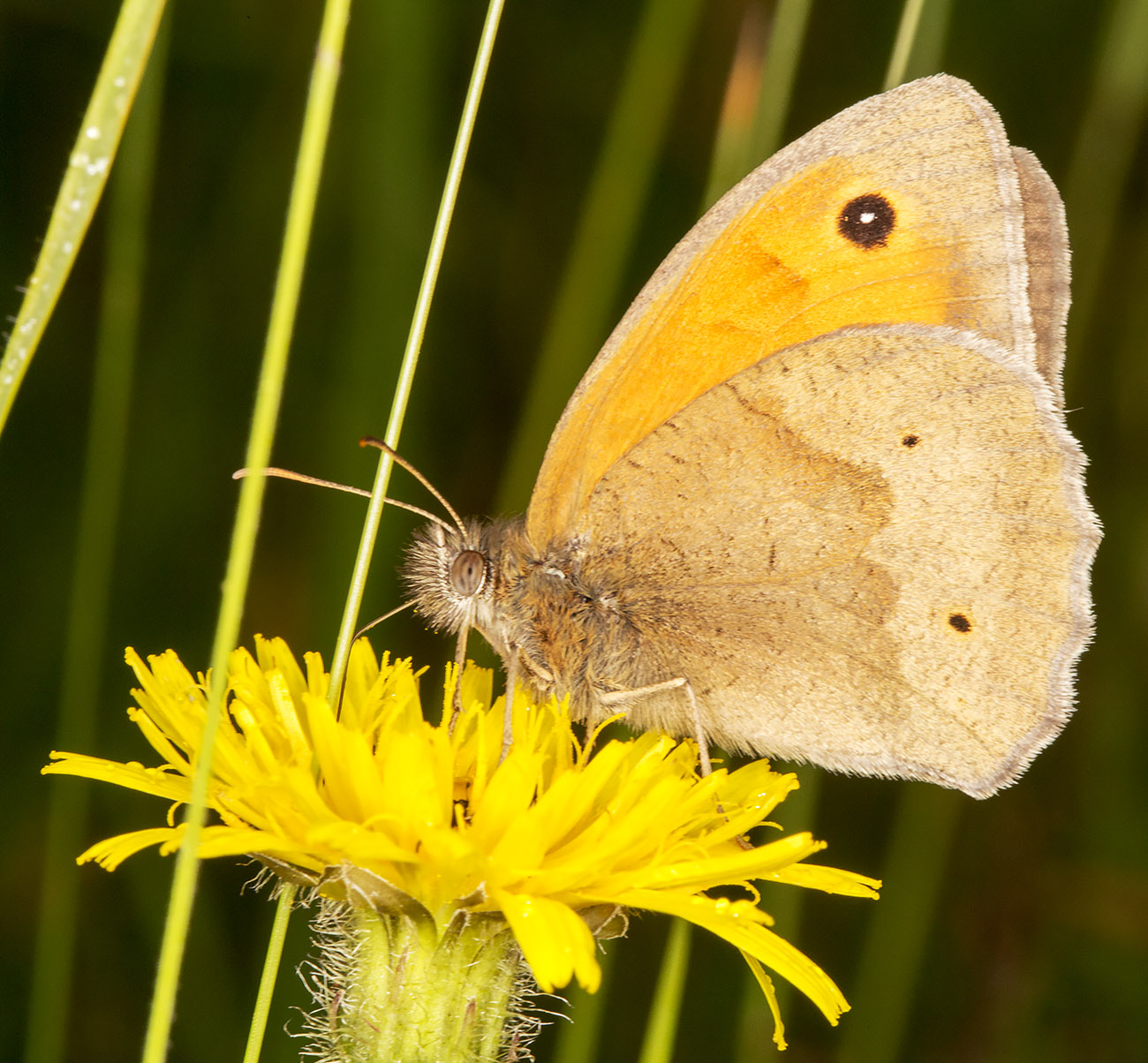 Meadow Brown, Maniola jurtina.  Orpington Field Club trip to Lullingstone Country Park, 14 June 2014.