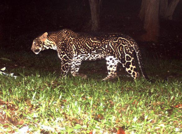 tiger vs cheetah vs leopard