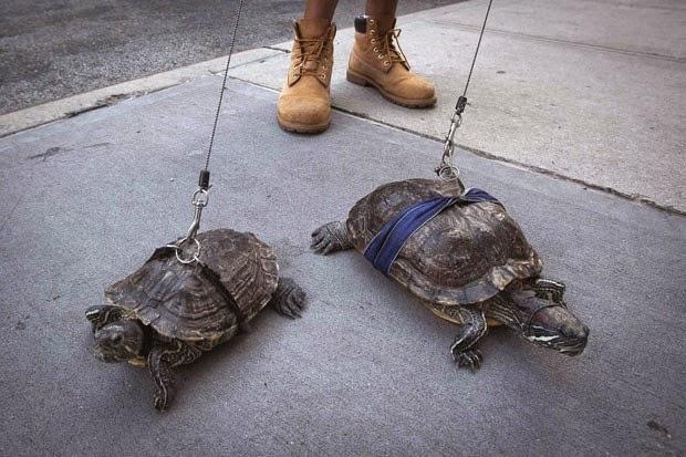Americano leva tartarugas de estimação para passear de coleira; tem medo delas fugirem e morderem alguém