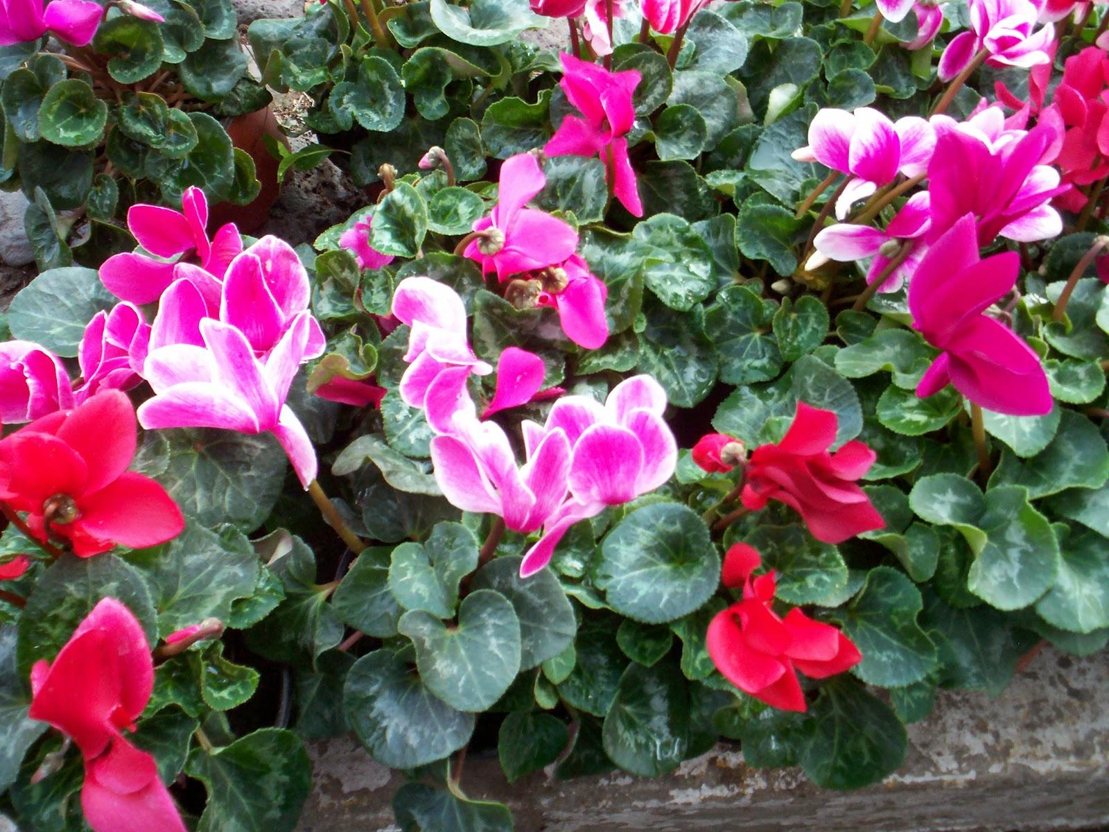 Flores y plantas mas plantas con letra v - Flores de sombra ...