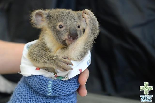 Tierno video de bebé koala que se niega a separarse de su madre herida