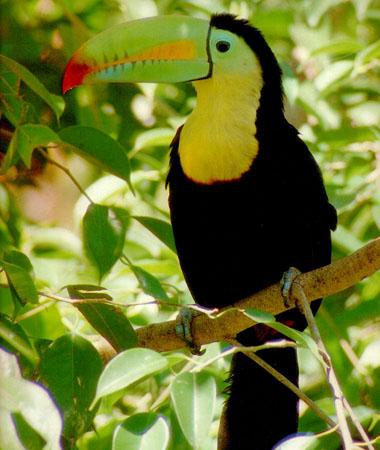 Especies en peligro de extincion en Chiapas