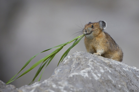 15 cutest endangered animals in the world, pika