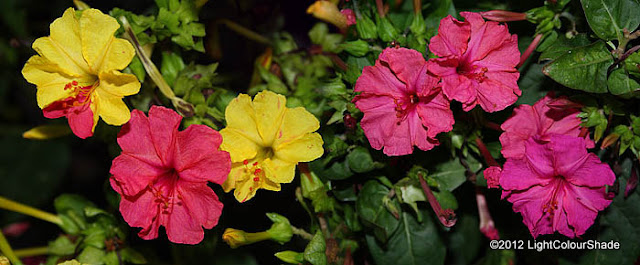 Mirabilis jalapa (The four o'clock flower), yellow pink purple