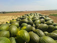 Picking up melons and water melons