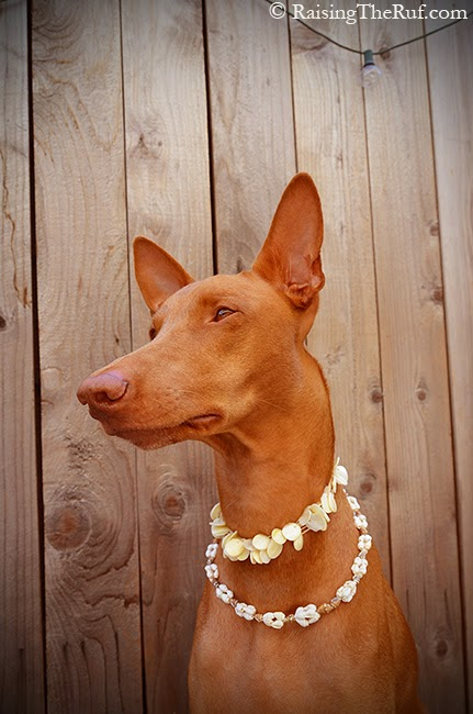 pharaoh hound and shell necklace