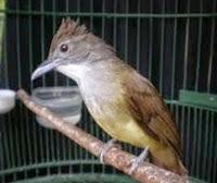 Cara Merawat Burung Cecak Jenggot Agar Cepat Gacor
