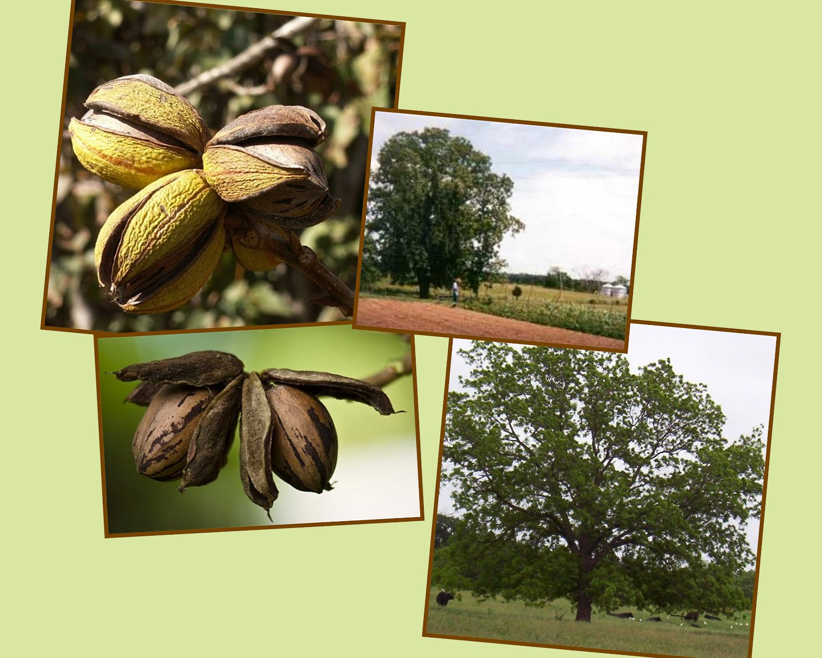 Pecan%2Btree%2Band%2Bnut%2B They were the first ones to cultivate the pecan tree.