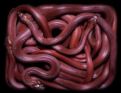 racun-ular
