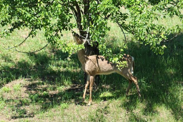 white tail doe munching on pear tree