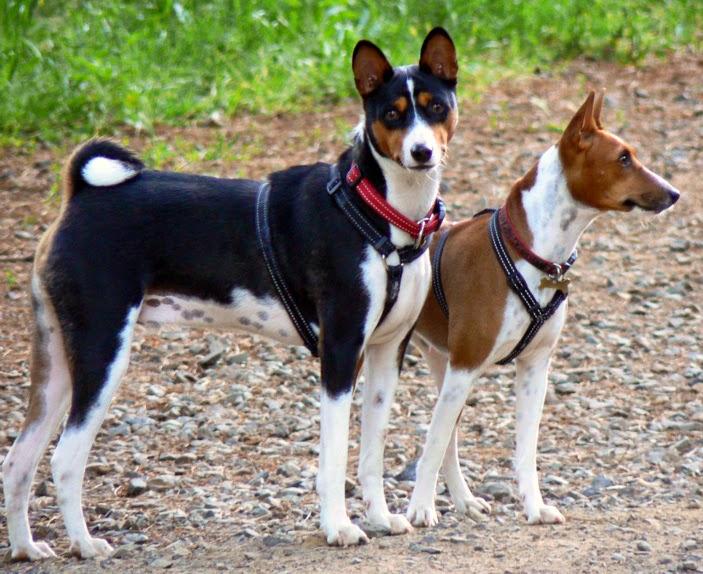 Basenji, anjing ras pemburu asal afrika tengah.