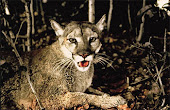 an essay on the florida panther The black panthers essay  panther conservation essay the florida panther (puma concolor coryi) has been on the endangered species list since 1967 with only 130.