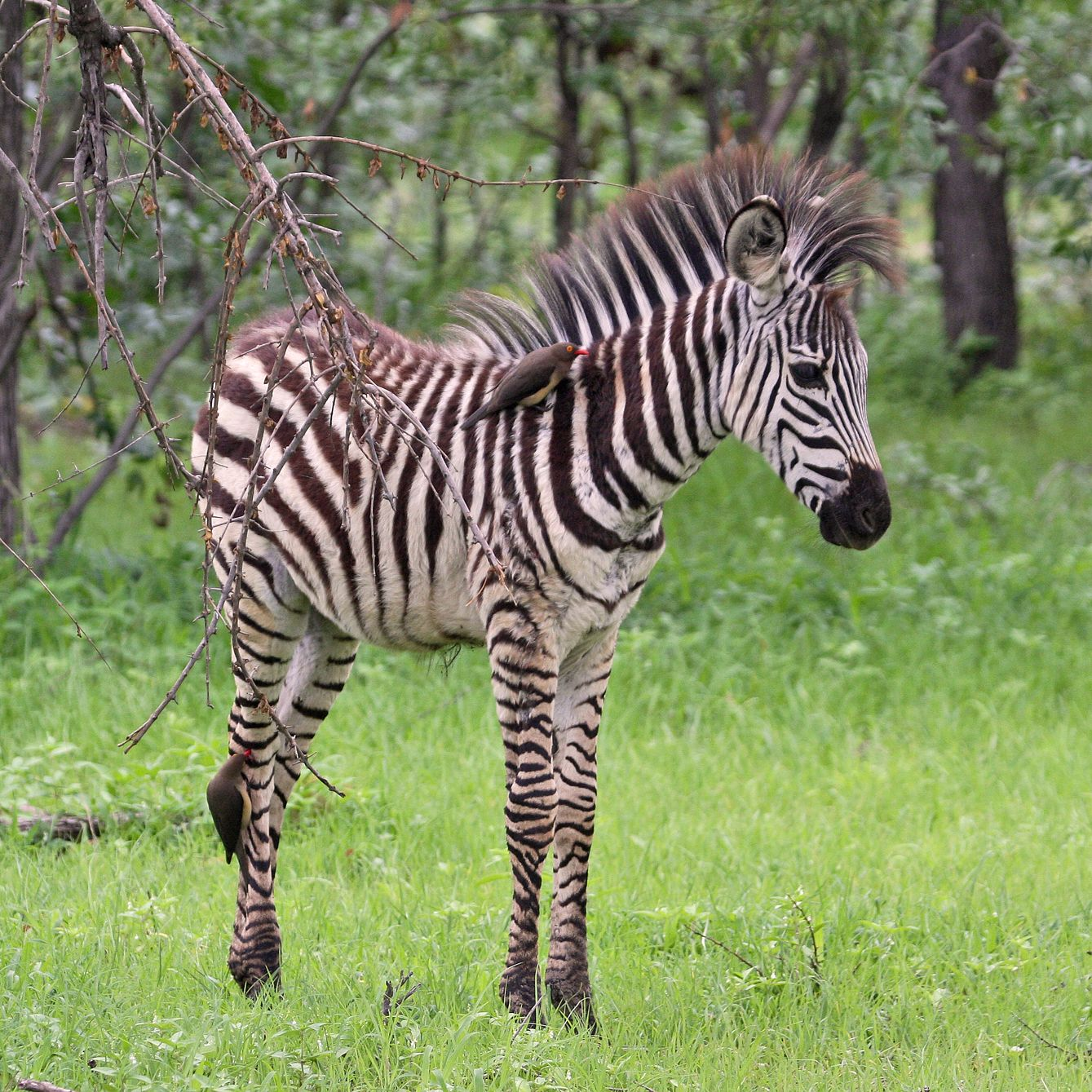 Http Lazyspleen Blogspot Com 2011 05 Things I Find Fascinating 3 Zebras And Html