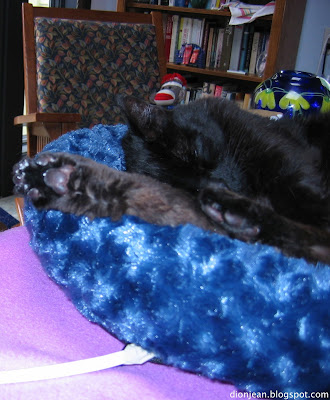 Troy the black cat in his blue cat bed