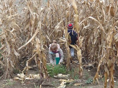 konie, kucyki, jazda konna, spacer, uprawa kukurydzy, zabawa na polu kukurydzy