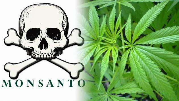 Monsanto plantar Uruguay marihuana transgénica