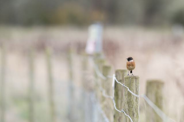 Male Stonechat - Manor Farm, Milton Keynes