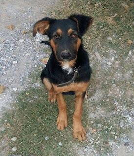 Τζίνα, ένα πανέμορφο φουντωτό ημ. Γερμανικό Ποιμενικό, μόλις 6 μηνών ψάχνει σπίτι!