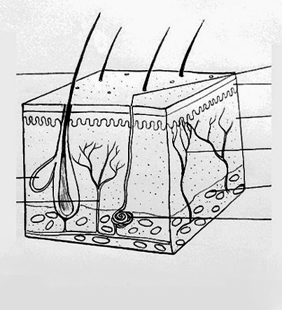 Drawing Skin Diagram Unlabeled - All Kind Of Wiring Diagrams •