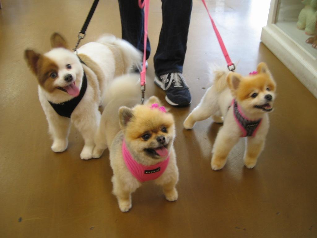 Venicepets Todays Customer Maddie Jack Coco Pomeranians