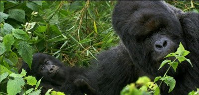 Attenborough's Life Stories Episode # 3 Our Fragile Planet PBS Nature Mountain Gorillas Conservation