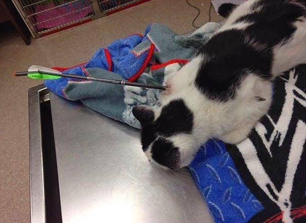 Cat shot through the chest with an arrow.