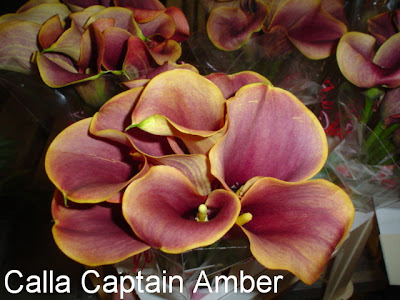 Calla Captain Amber pictures