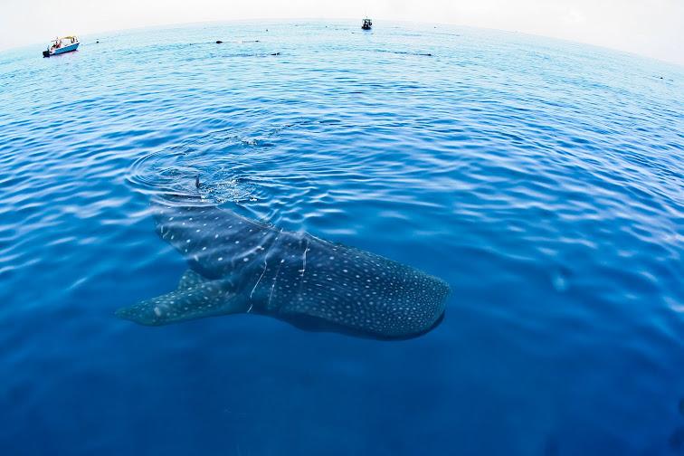 Tiburón Ballena (Isla Mujeres)