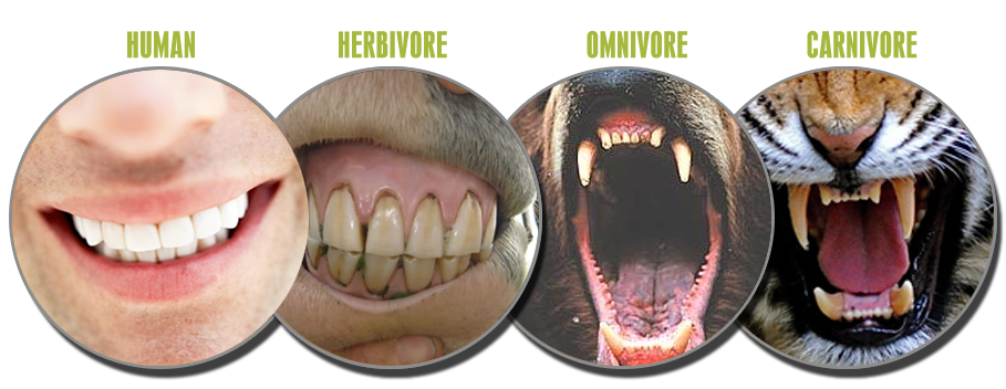 Are Human Teeth Made For Meat Eating
