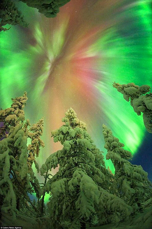 الشفق القطبي أعلى الأشجار