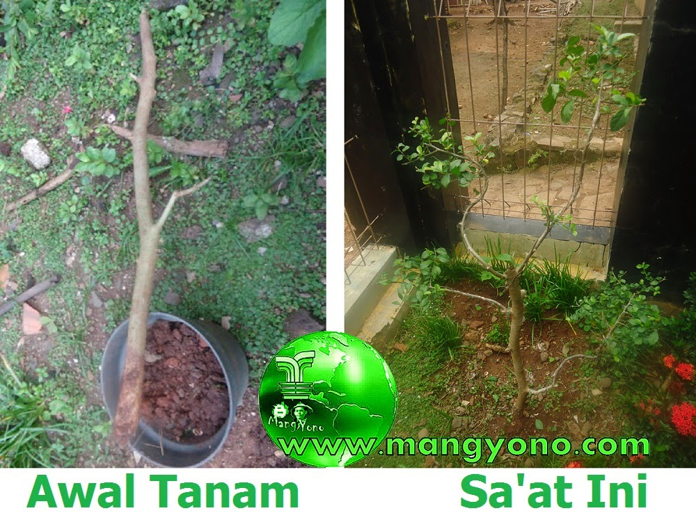 Poto sebelah kiri yaitu awal menanam bakalan serut, poto sebelahkanan saya jepret Tanggal 23 November 2014.