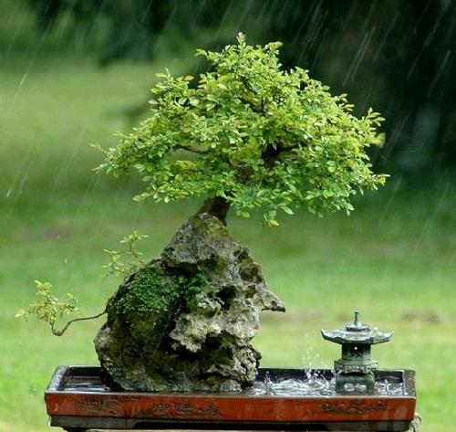 Garden design the most beautiful bonsai tree - Orme de chine bonsai ...