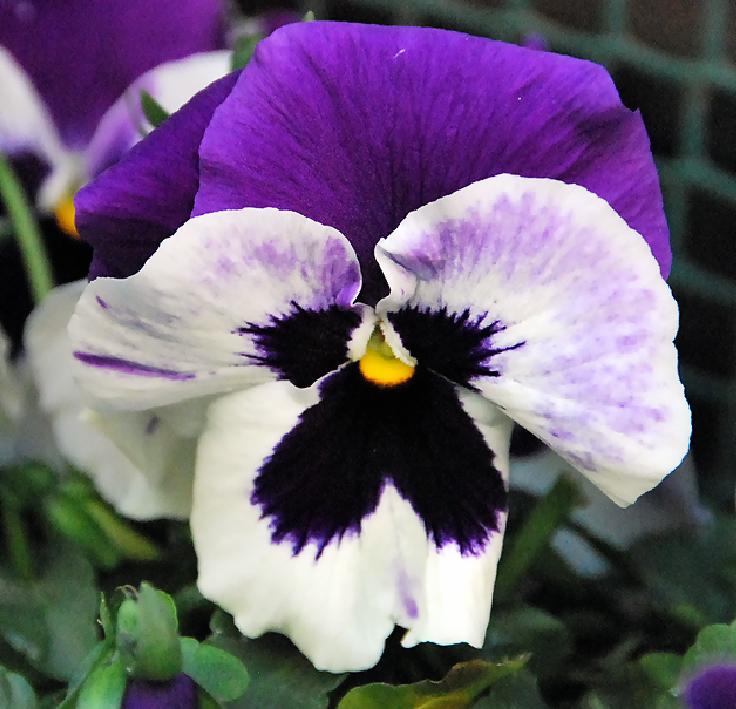 fotos Pensamientos, Flores, fotos de flores, imágenes de  - Imagenes De Flores De Pensamiento