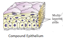 compound epithelial tissue