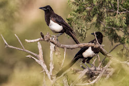 Arabian (Eurasian) Magpie (Pica pica asirensis)