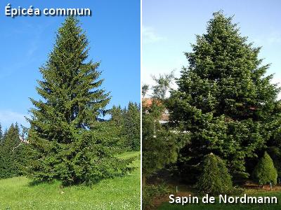 Quelle est la diff rence entre le sapin et l 39 pic a - Difference entre pin et sapin ...