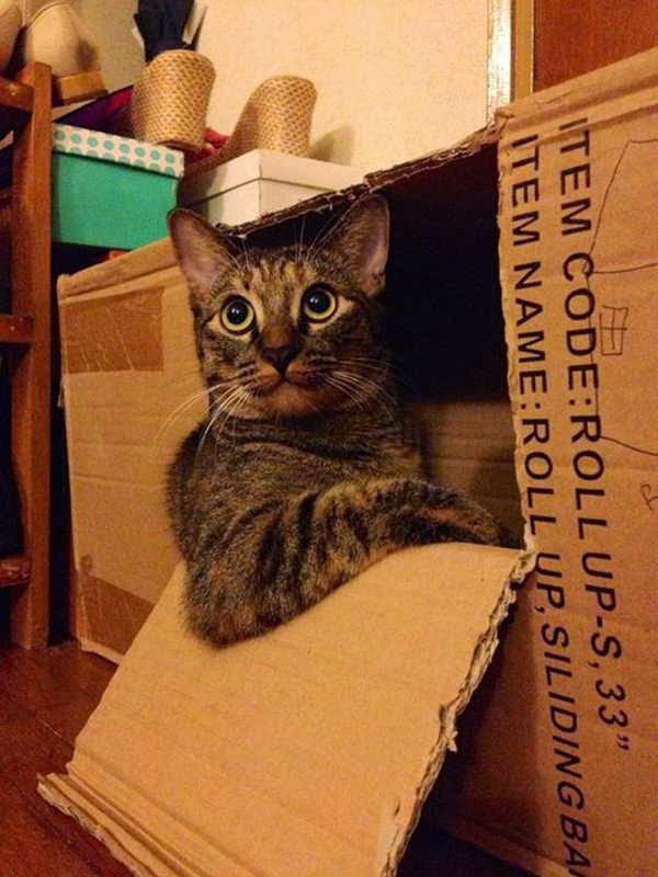 Funny cats - part 86 (40 pics + 10 gifs), cool cat in the box