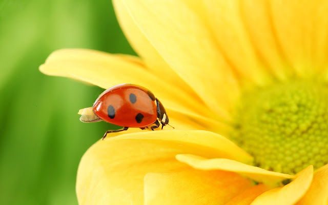 Close up wallpaper with a ladybug walking on a yellow flower and he is showing his wings and is ready to fly