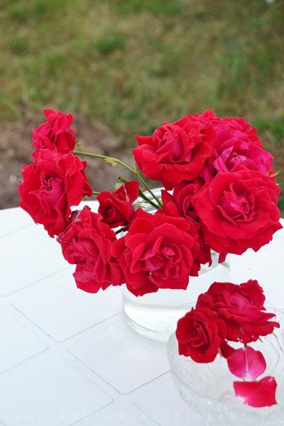 red garden roses, röda trädgårdsrosor