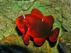 اروع سمكة زينة