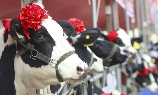 Vietnam's 'Miss Milk Cow' Beauty Contest 2015 Crowns Winner